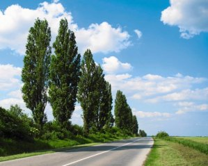 z16491532Q,Topola-wloska--Populus-nigra--Italica---to-popular