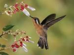 colibri-bebiendo